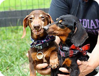 Dachshund Mix Dog for adoption in West Grove, Pennsylvania - Friedman & Ferdinand