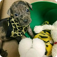 Adopt A Pet :: PUPPY-ABBY - DeLand, FL