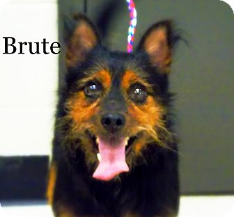 Terrier (Unknown Type, Medium)/Miniature Pinscher Mix Dog for adoption in Defiance, Ohio - Brute