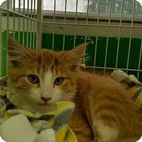 Domestic Mediumhair Kitten for adoption in Bloomingdale, New Jersey - Pumpkin
