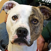 American Pit Bull Terrier Mix Dog for adoption in Sprakers, New York - Ty
