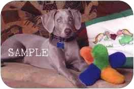 Weimaraner Puppy for adoption in Las Vegas, Nevada - LVWCR FOSTERS NEEDED