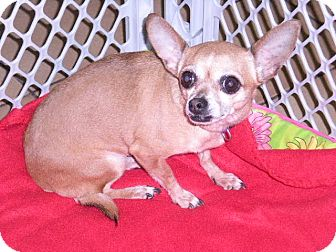 "Chihuahua Dog for adoption in New Castle, Pennsylvania - "" Cheyenne """