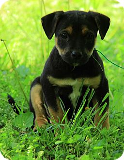 German Shepherd Dog/Jack Russell Terrier Mix Puppy for adoption in Staunton, Virginia - Murphy