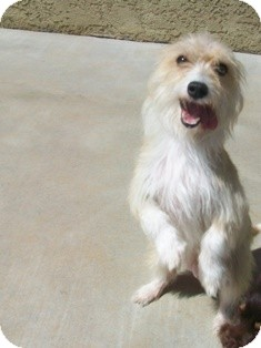 Terrier (Unknown Type, Small) Mix Dog for adoption in Tustin, California - Chrissy