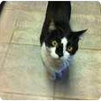 Domestic Shorthair Cat for adoption in New York, New York - Sucia
