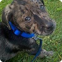 Adopt A Pet :: Collins - Richmond, VA