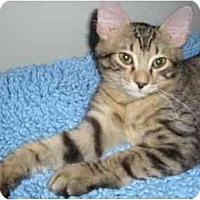 Adopt A Pet :: Tiger - Boca Raton, FL
