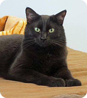 Domestic Shorthair Cat for adoption in Spokane Valley, Washington - Princess