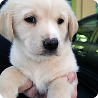 Adopt A Pet :: Journey Pup - Aynsley - Adopted! - San Diego, CA