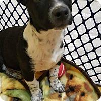 Adopt A Pet :: Isaac - Uxbridge, MA
