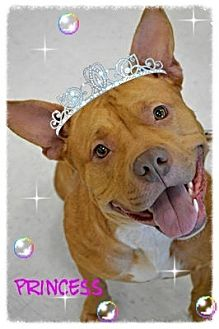 Pit Bull Terrier/American Staffordshire Terrier Mix Dog for adoption in Toledo, Ohio - Princess