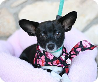 Chihuahua Dog for adoption in Canoga Park, California - Mykee