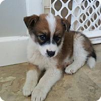 Adopt A Pet :: KODI - Winnipeg, MB