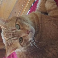 Adopt A Pet :: George - Idyllwild, CA