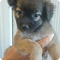 Adopt A Pet :: Cleo - Lexington, KY