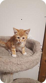 Domestic Shorthair Kitten for adoption in Wichita, Kansas - Hoover