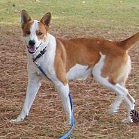 Labrador Retriever/Hound (Unknown Type) Mix Dog for adoption in Washington, D.C. - FOSTER HOMES NEEDED!!