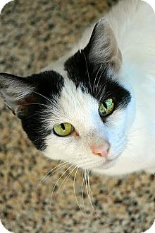 Domestic Shorthair Cat for adoption in Aiken, South Carolina - Kirby