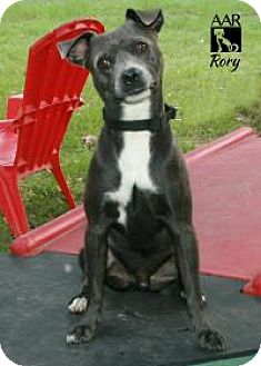 Pug/Pit Bull Terrier Mix Dog for adoption in Tomball, Texas - Rory
