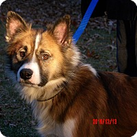 "Adopt A Pet :: Ralphie ""Icelandic Spitz"" - Burlington, VT"