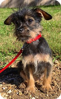 Brussels Griffon/Terrier (Unknown Type, Small) Mix Puppy for adoption in Jacksonville, Florida - JENNIE