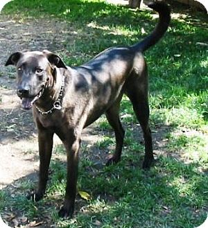 Great Dane/Labrador Retriever Mix Dog for adoption in Gilbert, Arizona - Digory