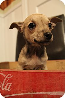 Chihuahua Mix Puppy for adoption in Hamburg, Pennsylvania - Lola