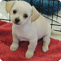 Adopt A Pet :: Tramp - La Habra Heights, CA
