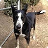 Adopt A Pet :: Zeus - North Hollywood, CA