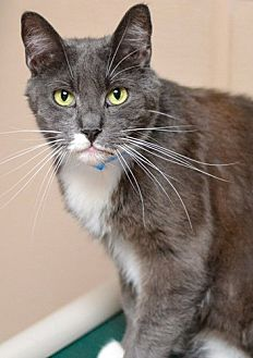 Domestic Shorthair Cat for adoption in Dallas, Texas - NICHOLAS