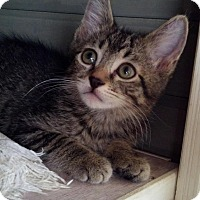 Adopt A Pet :: STRIPES-PetSmart Kitty - Scottsdale, AZ