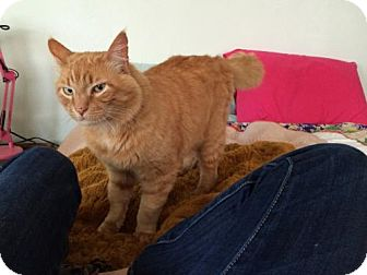 Domestic Mediumhair Cat for adoption in Arcata, California - Big Red