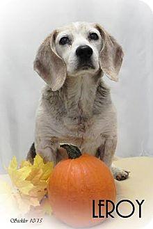 Beagle Mix Dog for adoption in Overland Park, Kansas - Leroy