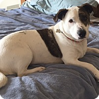 Adopt A Pet :: Patches - Fort Collins, CO
