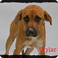Adopt A Pet :: Skylar - Old Saybrook, CT