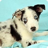 Adopt A Pet :: Nellie BC - St. Louis, MO