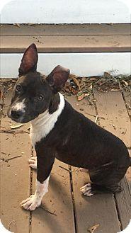 Boston Terrier/Basenji Mix Dog for adoption in Mobile, Alabama - Wallace
