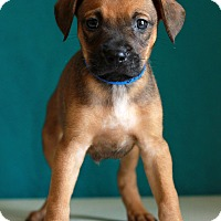 Adopt A Pet :: Colts - Waldorf, MD