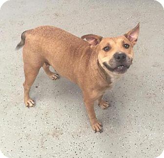 Staffordshire Bull Terrier/German Shepherd Dog Mix Dog for adoption in Phoenix, Arizona - sansa