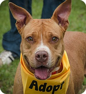 Pit Bull Terrier Dog for adoption in Plano, Texas - Anna