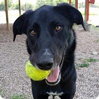 Border Collie Mix Dog for adoption in Killeen, Texas - Einstein