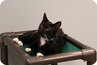 Domestic Shorthair Cat for adoption in Byron Center, Michigan - Stachwayne