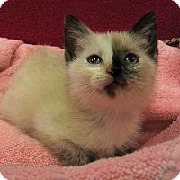 Siamese Kitten for adoption in Redwood Falls, Minnesota - Zora