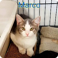 Domestic Mediumhair Kitten for adoption in Ringgold, Georgia - Marco