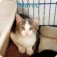 Domestic Mediumhair Kitten for adoption in Ringgold, Georgia - Marco