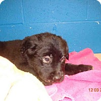 Adopt A Pet :: LINUS - St. Peters, MO