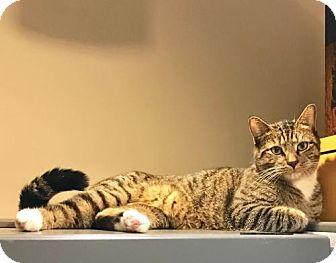 Domestic Longhair Cat for adoption in Oviedo, Florida - Gabriel