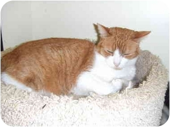 Domestic Shorthair Cat for adoption in Lake Charles, Louisiana - Rusty