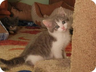 Domestic Shorthair Kitten for adoption in Southington, Connecticut - Skittles